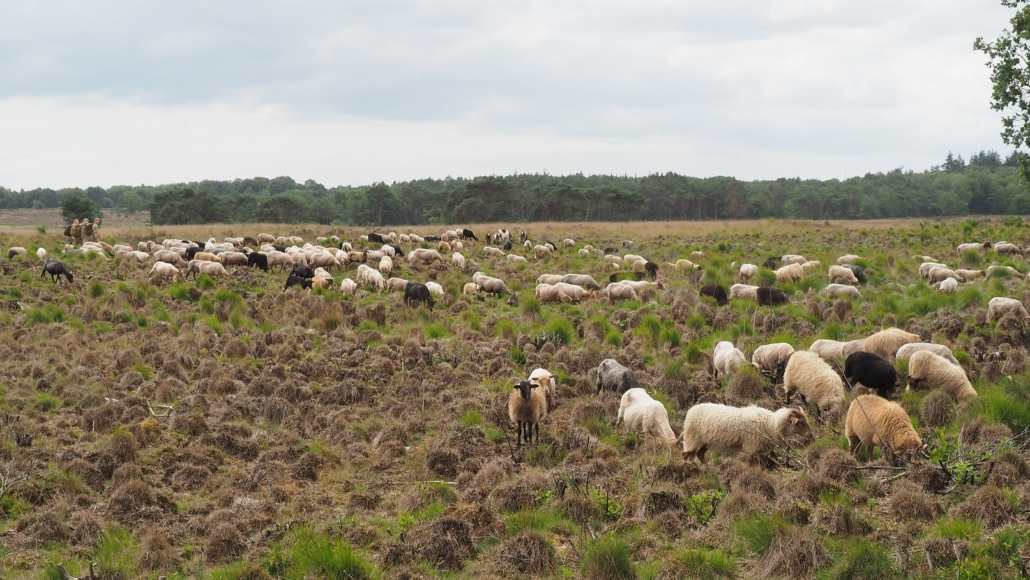 Kudde schapen